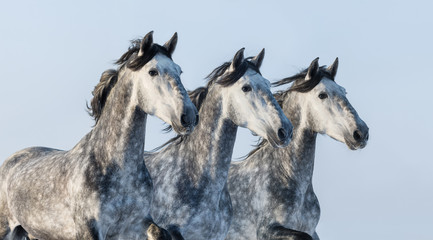 Wall Mural - Three grey horses - portrait in motion