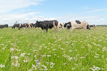 Herd of black and white cows grazing on the blossoming meadow
