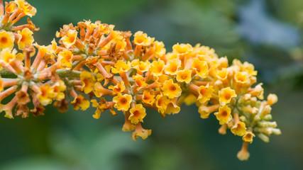 Butterfly Bush Blooms