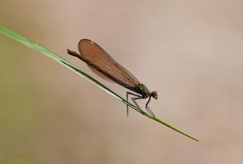 libellule insecte macro tige feuille profil aile vol repos natur
