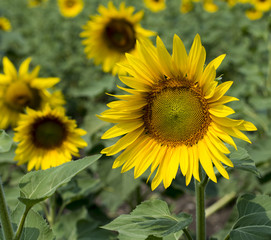 sunflower flower in a sunny day in the field