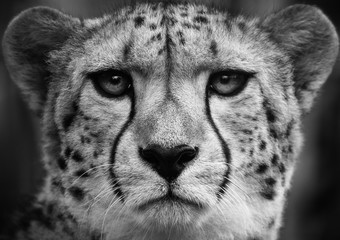 Cheetah , A black and white head shot of a adult cheetah .