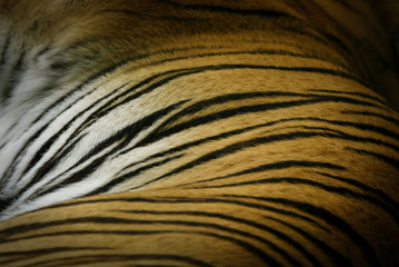 Tiger skin showing it body stripes .
