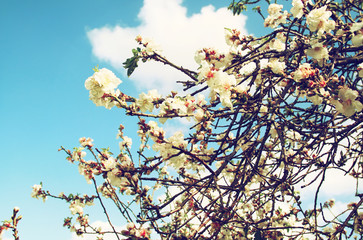 image of spring white cherry blossoms tree. selective focus. vintage filtered