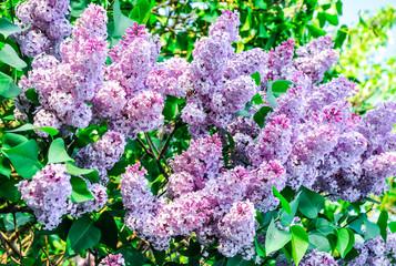 Foto auf Acrylglas Flieder flowering syringa lilac