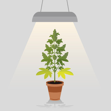 Medical legal cannabis plant in pot under a built in light lamp. Leafs, strain and flowerpot. Flat style design.