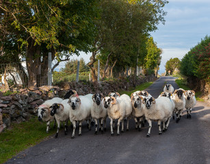 herd of sheep walking on a small rural road in County Kerry, Ireland