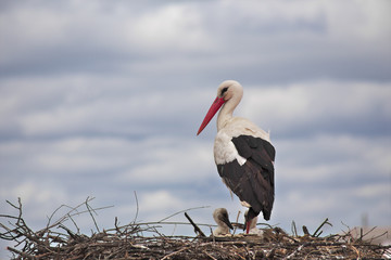 A stork takes care of the offspring in the nest in Malpartida de Cáceres (Extremadura, Spain)