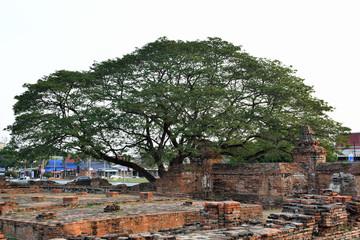 Big tree in Ayutthaya temple ruins, Wat Mahathat Thailand