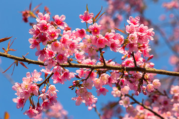 Soft wild Himalayan Cherry flower (Prunus cerasoides),Giant tiger flower in Thailand, selective focus