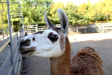 Headshot Of Adult Female Lama Glama