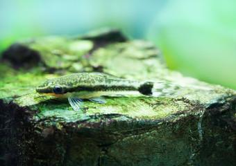 Otocinclus macrospilus vitattus fish. Armored oto catfish dwarf sucker. perfect algae eater. macro view, soft focus.
