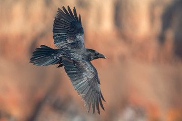 Raven in flight on background of red rocks