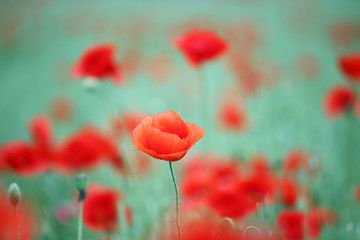 red poppy flower spring season