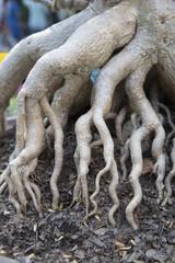 azalea roots