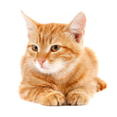 red kitten isolated on white background