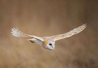 Wall Mural - Barn owl in flight, clean background, Czech Republic
