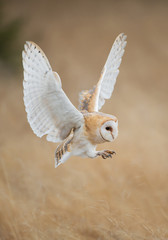 Barn owl in flight before attack, clean background, Czech Republic