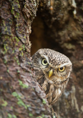 Pygmy owl looking from its nest, Czech Republic