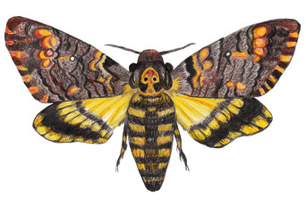 Death's-head moth on white isolated background. Hand-drawn pencil illustration