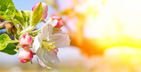 Wall Mural - Apfelblüte in der Sonne