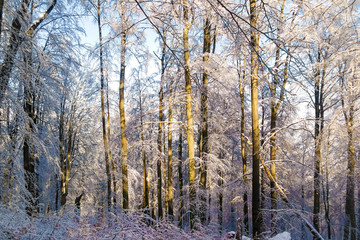 Winter deep forest. Evening sun shines on the trees. Trees covered with snow
