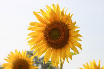 Sunflower in garden and sky