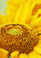 bright sunflower on natural background.
