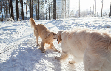 Clothes for dogs. two golden retriever dogs playing outdoors in winter.