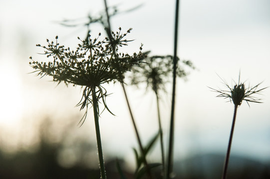 Wild carrot , Queen Anne's lace, in field during sunset