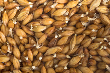 organic barley sprouts background
