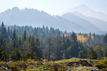 panoramic image of mysterious misty fog pine tree forest with yellow spot and foggy mountains at the background