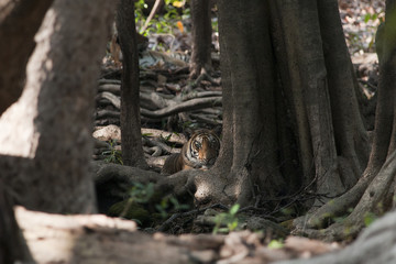 the eye of the tiger in the park ranthambore