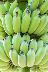 Cultivated Banana.
