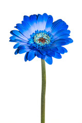 Blue single gerber daisy isolated on a white background