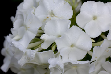 The blossoming white phloxes growing in a summer garden.