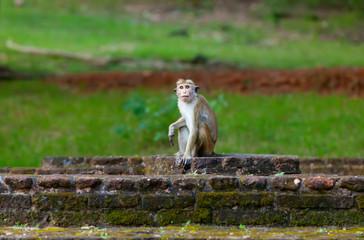 Sri Lanka monkey sitting on ruins.