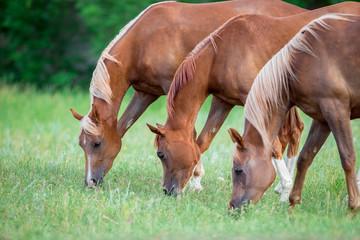 Three Arabian horses eating green grass in field