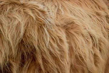 Highland cattle fur