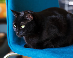 Black Cat sitting on a blue chair.
