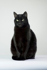 Black cat sitting up with a white background