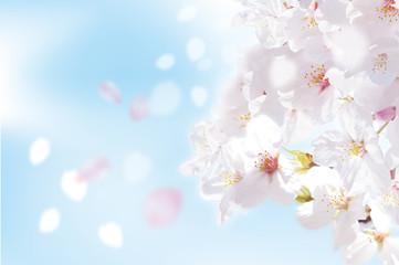桜 写真  ふわり 青