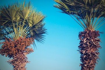 two date palm against the bright blue sky