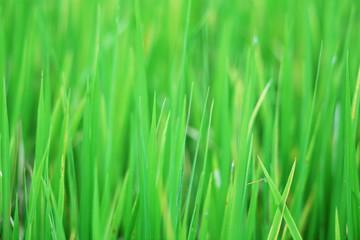 rice leaf background.