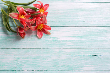 Fresh  spring pink tulips flowers  on turquoise  painted wooden