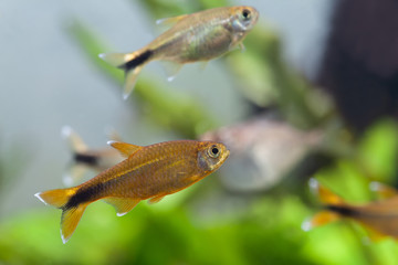 Aquarium fishes. Silver Tipped Tetra. Tank. Freshwater.
