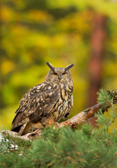 Fototapete - Eagle owl perching on the pine tree, with squirrel prey, clean background, Czech republic