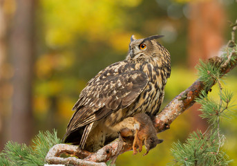 Wall Mural - Eagle owl perching on the pine tree, with squirrel prey, clean autumn background, Czech republic