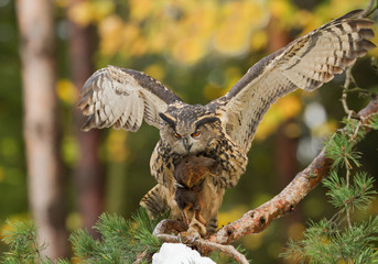 Eagle owl perching on the pine tree, open wings, with squirrel prey, clean autumn background, Czech republic