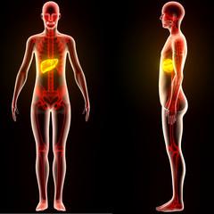 Human Body Organs (Liver)